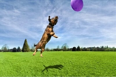 Dog playing with a balloon in a poop free yard